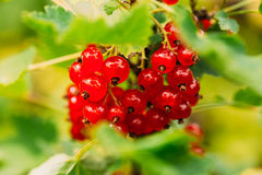 Ramo del ribes Bacche organiche crescenti Giardino della frutta Immagini Stock Libere da Diritti
