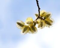Ramo del salice purulento della primavera sul fondo del cielo Fotografia Stock