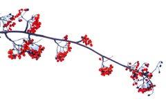 Ramo del Sorbus con le bacche rosse su un fondo bianco Fotografia Stock Libera da Diritti