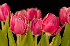 Ramo del tulipán Fotos de archivo