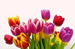 Ramo del tulipán del resorte Imagen de archivo libre de regalías