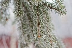 Ramo dell'abete blu blu, verde, bianco, abete rosso blu di Colorado, picea pungens coperto di Bekraund del nuovo anno di brina pl Fotografie Stock