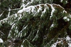 Ramo dell'abete del fondo con i fiocchi della neve e della pigna Feste di natale Fotografia Stock Libera da Diritti