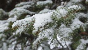 Ramo dell'abete di inverno con la brina e le precipitazioni nevose archivi video