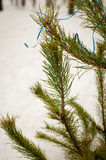 Ramo dell'abete fuori nell'inverno Fotografia Stock