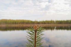 Ramo dell'abete i precedenti della riva del lago Fotografie Stock