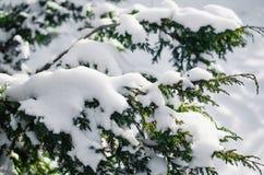 Ramo dell'abete in neve - fondo di feste di Natale immagini stock