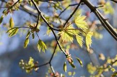 Ramo dell'acero con le foglie dei giovani contro cielo blu Foglie di acero sopra Fotografia Stock Libera da Diritti