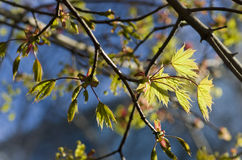 Ramo dell'acero con le foglie dei giovani contro cielo blu Foglie di acero sopra Immagini Stock