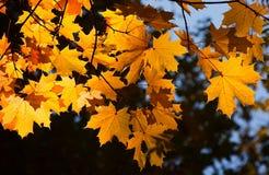 Ramo dell'acero di autunno Fotografie Stock