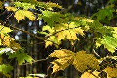 Ramo dell'acero nella foresta di autunno Fotografia Stock