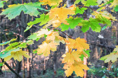 Ramo dell'acero nella foresta di autunno Immagini Stock
