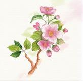 Ramo dell'acquerello dei fiori di ciliegia Fotografia Stock