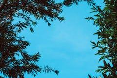 Ramo dell'albero con cielo blu Fotografia Stock