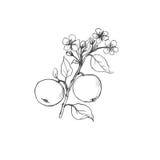 Ramo dell'albero da frutto con i fiori, le foglie e le mele Fotografia Stock Libera da Diritti