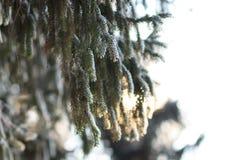 Ramo dell'albero di abete sopra il fondo soleggiato del cielo Fotografie Stock