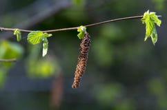 Ramo dell'albero di betulla Immagini Stock
