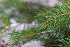 Ramo dell'albero di Natale Immagini Stock