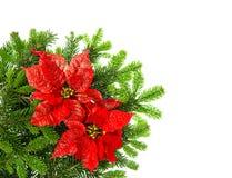 Ramo dell'albero di Natale con il fiore rosso della stella di Natale sopra bianco Immagine Stock