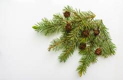 Ramo dell'albero di Natale e dei coni su fondo bianco Fotografia Stock Libera da Diritti
