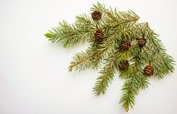 Ramo dell'albero di Natale e dei coni su fondo bianco Immagini Stock Libere da Diritti