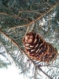 Ramo dell'albero di Natale nella macro con il cono Fotografia Stock Libera da Diritti