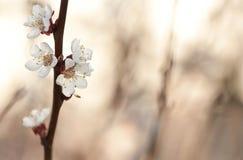Ramo dell'albicocca del fiore con sfuocatura Immagini Stock Libere da Diritti