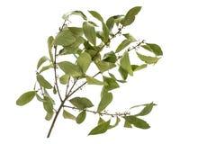 Ramo dell'alloro con le foglie Immagine Stock Libera da Diritti