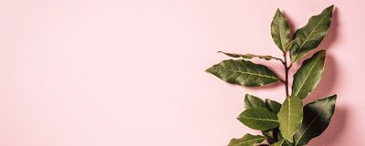 Ramo dell'alloro su fondo rosa Immagine Stock
