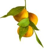Ramo dell'arancia del mandarino del mandarino fotografia stock libera da diritti