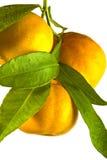 Ramo dell'arancia del mandarino del mandarino fotografie stock
