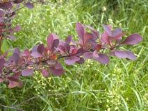 Ramo dell'arbusto del crespino Fotografie Stock