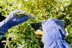 Ramo dell'arbusto della potatura con cesoie nel giardino di estate Fotografia Stock