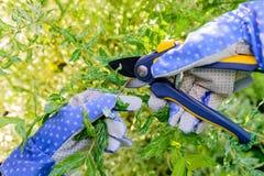 Ramo dell'arbusto della potatura con cesoie nel giardino di estate Fotografia Stock Libera da Diritti