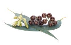 Ramo dell'eucalyptus Fotografie Stock