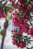 Ramo dell'oleandro rosa Immagini Stock