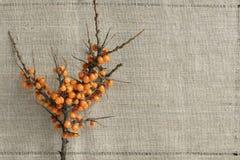 Ramo dell'olivello spinoso fotografie stock libere da diritti