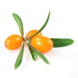 Ramo dell'olivello spinoso isolato sul bianco Fotografia Stock
