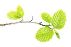 Ramo dell'ontano con le foglie verdi isolate su fondo bianco Fotografia Stock