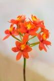 Orchidee dell'arancia del ramo Immagine Stock Libera da Diritti
