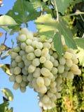 Ramo dell'uva Immagini Stock Libere da Diritti
