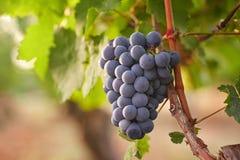 Ramo dell'uva del vino rosso fotografia stock