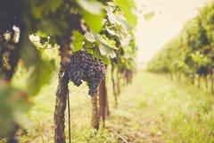 Ramo dell'uva del vino rosso, tonificato fotografia stock libera da diritti