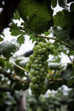 Ramo dell'uva di gree sulla vite in vigna Fotografia Stock