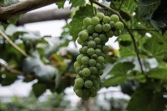 Ramo dell'uva di gree sulla vite in vigna Immagini Stock Libere da Diritti