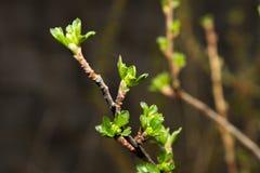 Ramo dell'uva spina Fotografie Stock Libere da Diritti