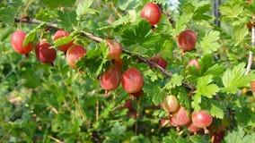 Ramo dell'uva spina Immagine Stock