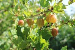 Ramo dell'uva spina nel giardino di estate Fotografia Stock Libera da Diritti