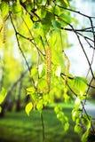Ramo della betulla con i germogli alla luce solare Immagini Stock Libere da Diritti