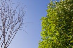 Ramo della betulla con le foglie e senza sui precedenti con cielo blu Opposti di contrasto di estate immagini stock libere da diritti